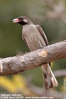 indicador de cuello negro Indicator indicator birds of Africa