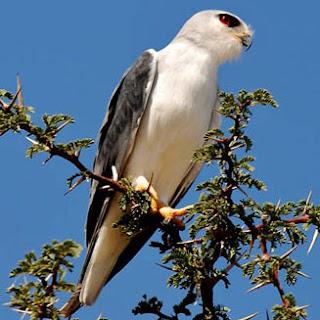 elanio de alas negras Elanus caeruleus birds of africa