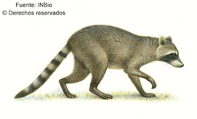 mapache cangerjero Procyon cancrivorus