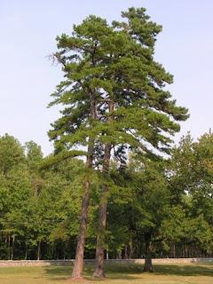 pino amarillo Pinus echinata