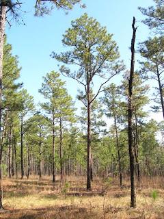 pino amarillo americano Pinus palustris