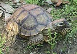tortuga terrestre comun Chelonoidis chilensis