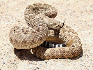 cascabel de diamante occidental Crotalus atrox