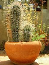 Cactus de casa