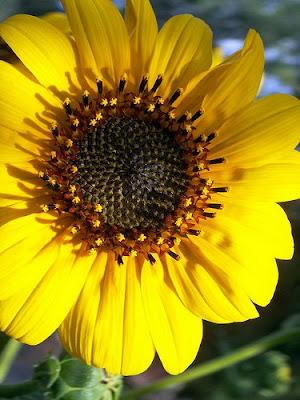 SUN FLOWER YELLOW