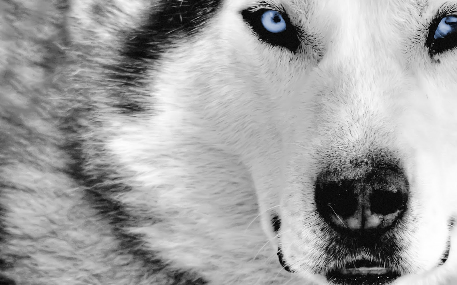 Grey Wolf Wallpaper Hd Images & Pictures - Becuo