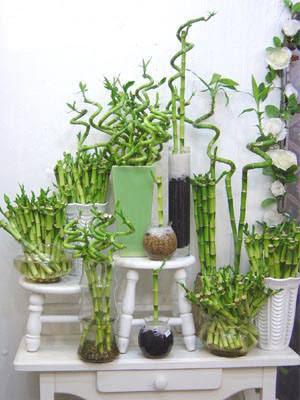 Planta de bambú decorativa