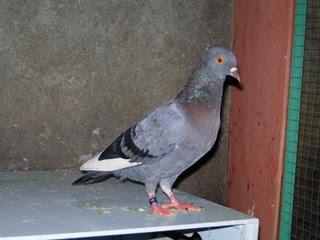 Informasi Seputar Cileungsi: Burung Dara atau Burung Me