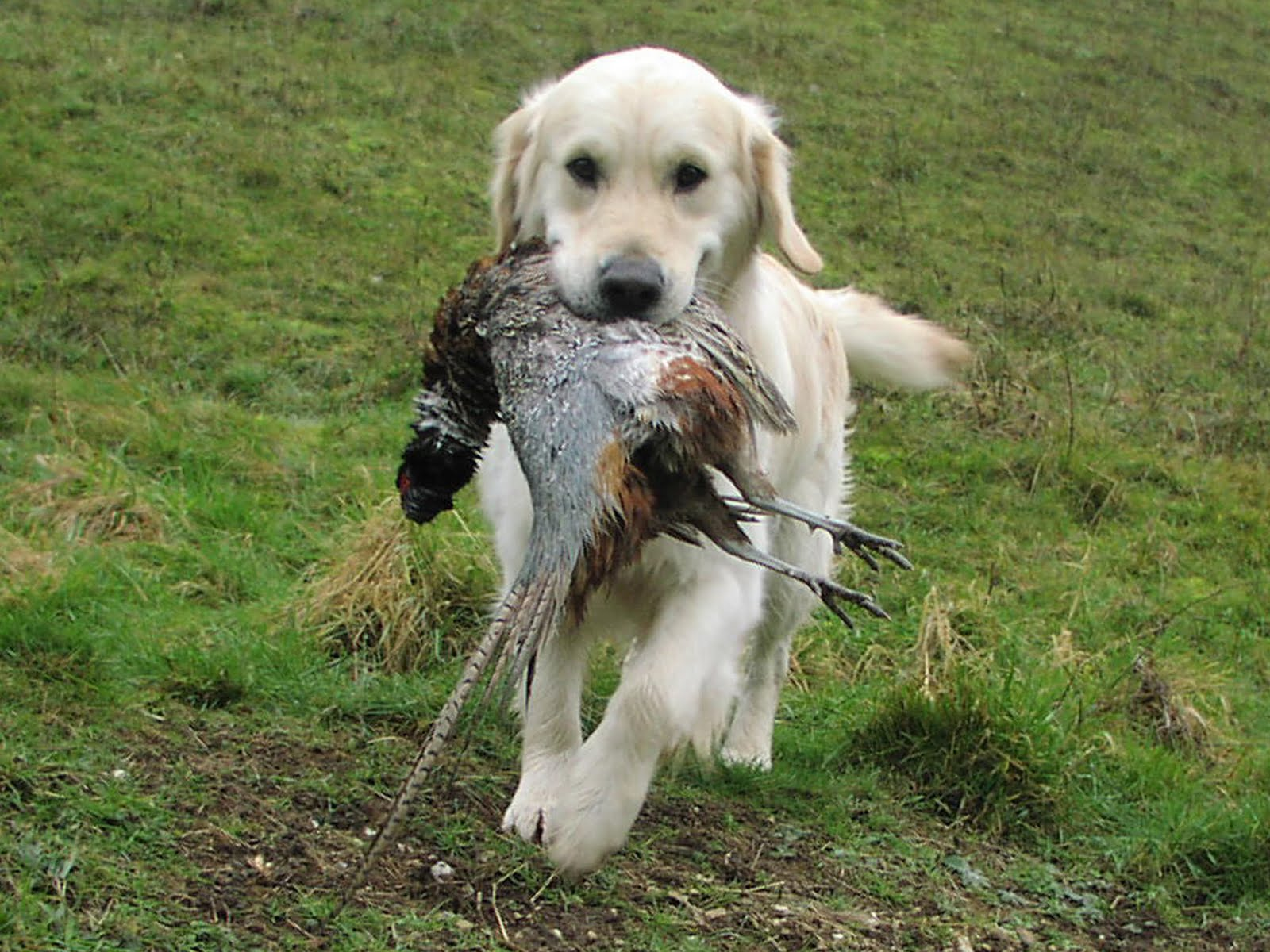 http://1.bp.blogspot.com/_nEmB3Z5F5EM/S62HYfYs0EI/AAAAAAAAIMQ/Q3kJKhIvRpc/s1600/Labrador_Hunting.jpg