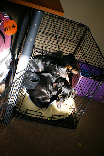 Texas and Bubbles curled up together in a wire crate with sunshine streaming in on them