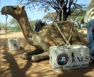 camel-being-readied.jpg
