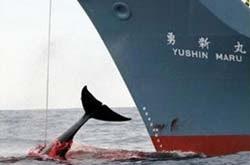 Sea Shepherd, o el Pastor de los Mares