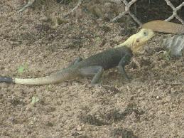 Agame Lizard