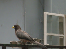 Western Grey Plantain Eater