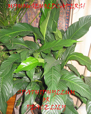 My household capers gardening easy care indoor plants spathiphyllum or peace lily - Easy maintenance house plants ...