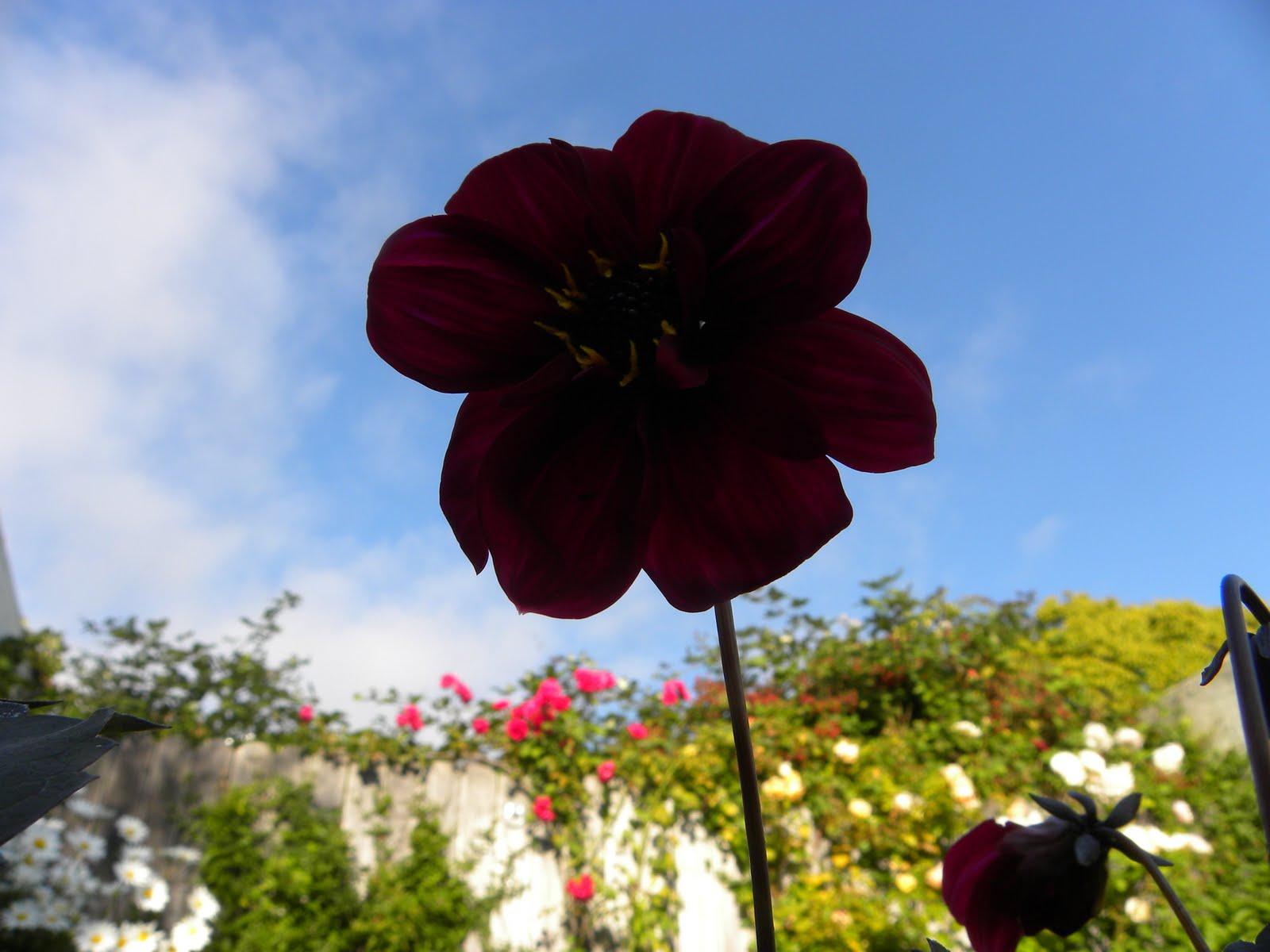 Spencer Alley Black Dahlia