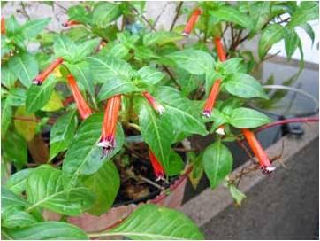 Viveros el palto huacho frutales y plantas ornamentales for Viveros ornamentales
