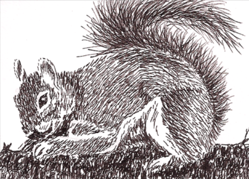 ink drawing of a squirrel