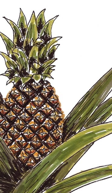 drawing of a pineapple plant