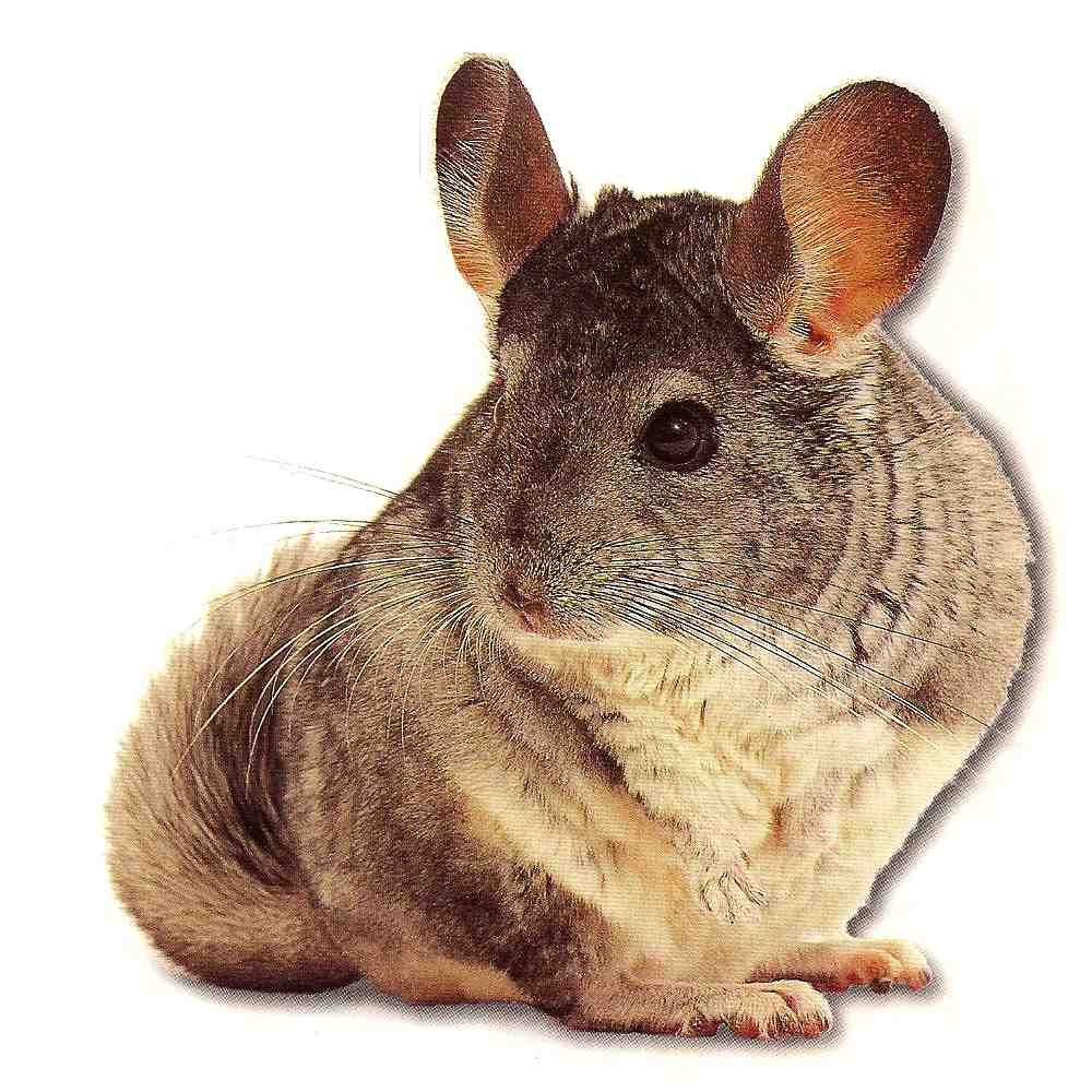 Chinchilla care - photo#27