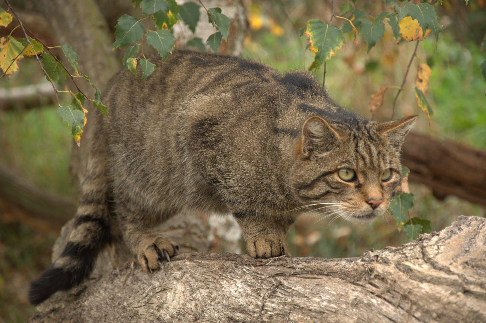 scott big cat pfaff