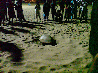 the clearing made by turtle after she finishes laying eggs