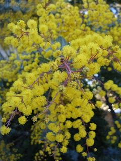 wattle flower, melbourne