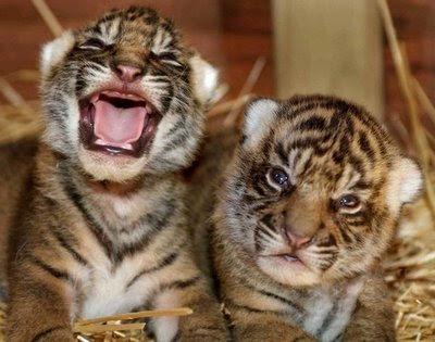 Sumatran Tiger Cubbs Pictures
