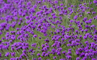 Bunga, Bunga Cantik, Bunga Ungu, Tutorial Blog, Tutorial Gambar Tidak Boleh Klik, Cara Nak Elakkan Gambar di Curi di Blog, Tak Boleh Klik Gambar