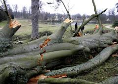 Ventania derruba árvore centenária