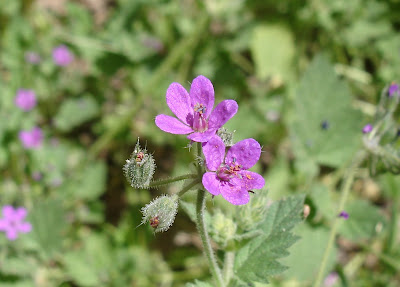 Stork&#8217;s-bill blossoms