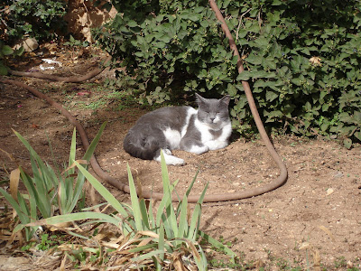 Gray and white cat guards the garden hose