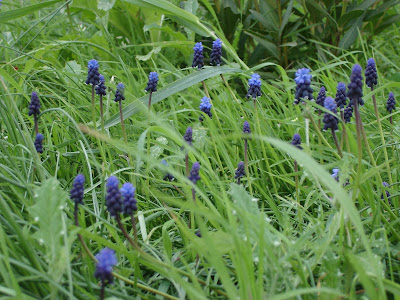 Common grape hyacinths