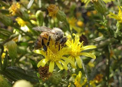 Bee on elecampane blossom