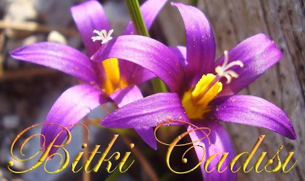 Bitki Cadısı