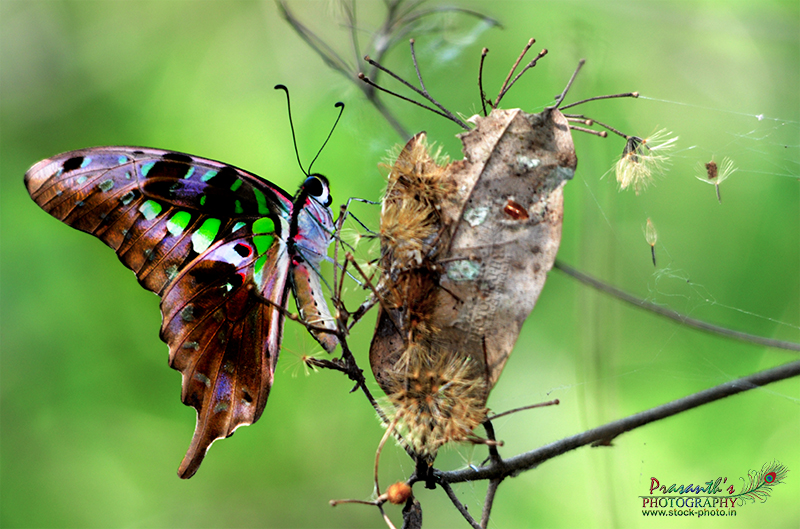 Tailed Jay Butterfly - Graphium agamemnon