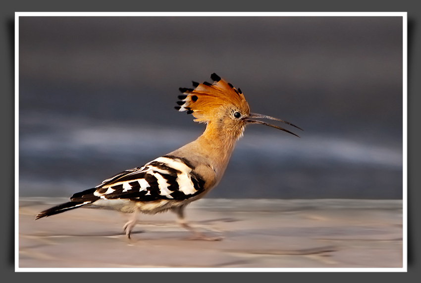 hoopoe bird , UAE, Upupa epops