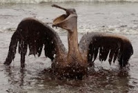 A Brown Pelican is seen on the beach at East Grand Terre Island along the Louisiana coast on Thursday, June 3, 2010. AP Photo by Charlie Riedel.
