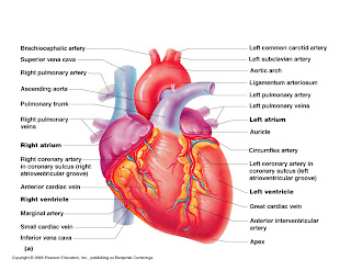 Gross anatomy of the heart