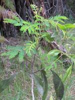 Young Koa Tree