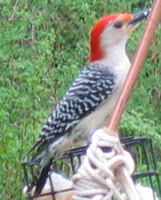 The Orange Mohawked Woodpecker (AKA the red-bellied woodpecker)