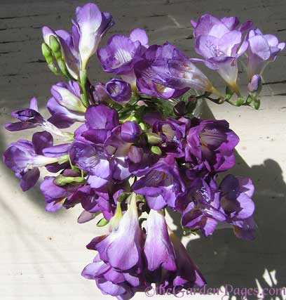 Thegardenpages So Cal Gardening Blog What 39 S Blooming In