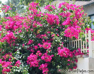 Here S A Quick Late Night Friday Fl For You The Bougainvilleas Are Blooming In Southern California Their Colors Can Range From Purple To Reds