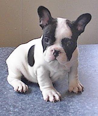 american french bulldog - photo #3