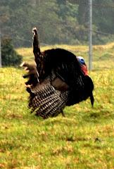 A wild turkey!!!