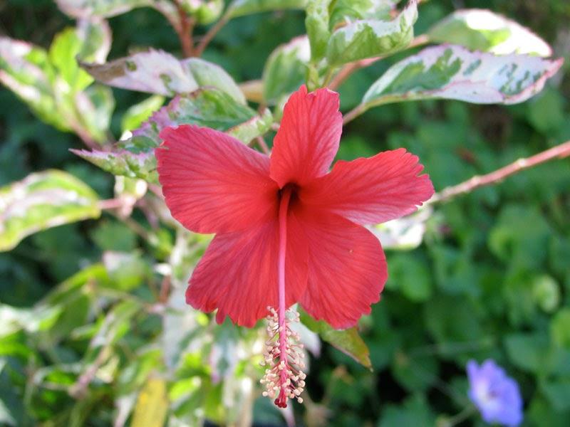 Hibiscus rosa sinensis hibiscus rosa sinensis 39 cooperi for Hibiscus rosa sinensis