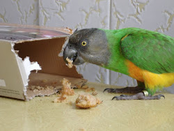 Syd -  6 years old Senegal Parrot
