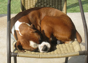 Boxer Puppies to Rehome in Nort Fort Worth