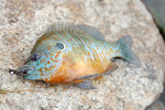 Orange Spotted Sunfish