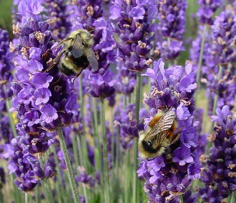 Benih Bunga Lavender gambar tanaman anti nyamuk
